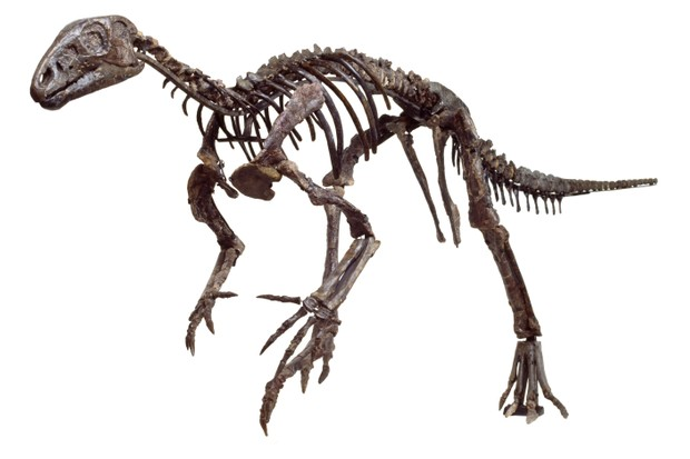 A mounted skeleton of the dinosaur Hypsilophodon. © Trustees of the Natural History Museum