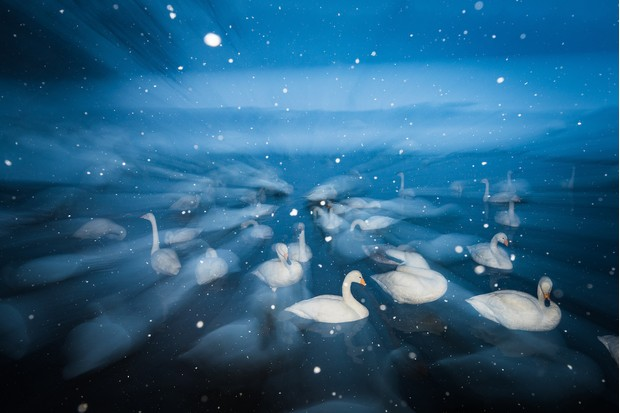 Creative Imagery Category third place: Swans in the Snow. © Wim van den Heever.