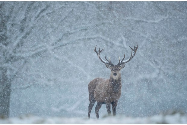 Mammal Photographer of the Year Overall Runner up: Deer stag. © Alastair Marsh.