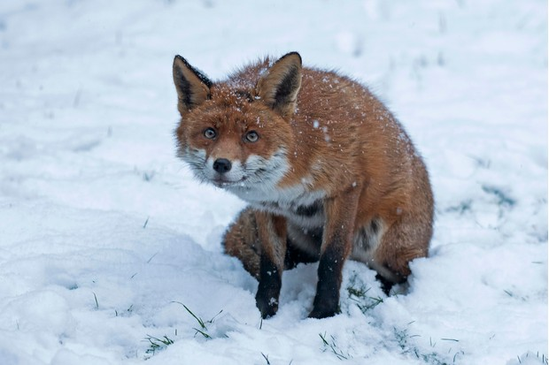 Mammal Comedian of the Year Category Winner: Fox in snow. © Helen Mathias.