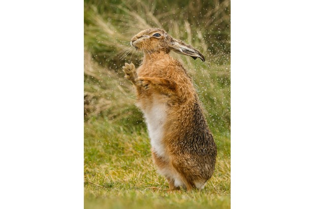 Brown hare drying off. © Gary Dean.