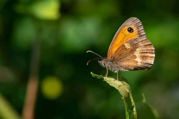 Gatekeeper butterfly. © Mark Heighes/Getty