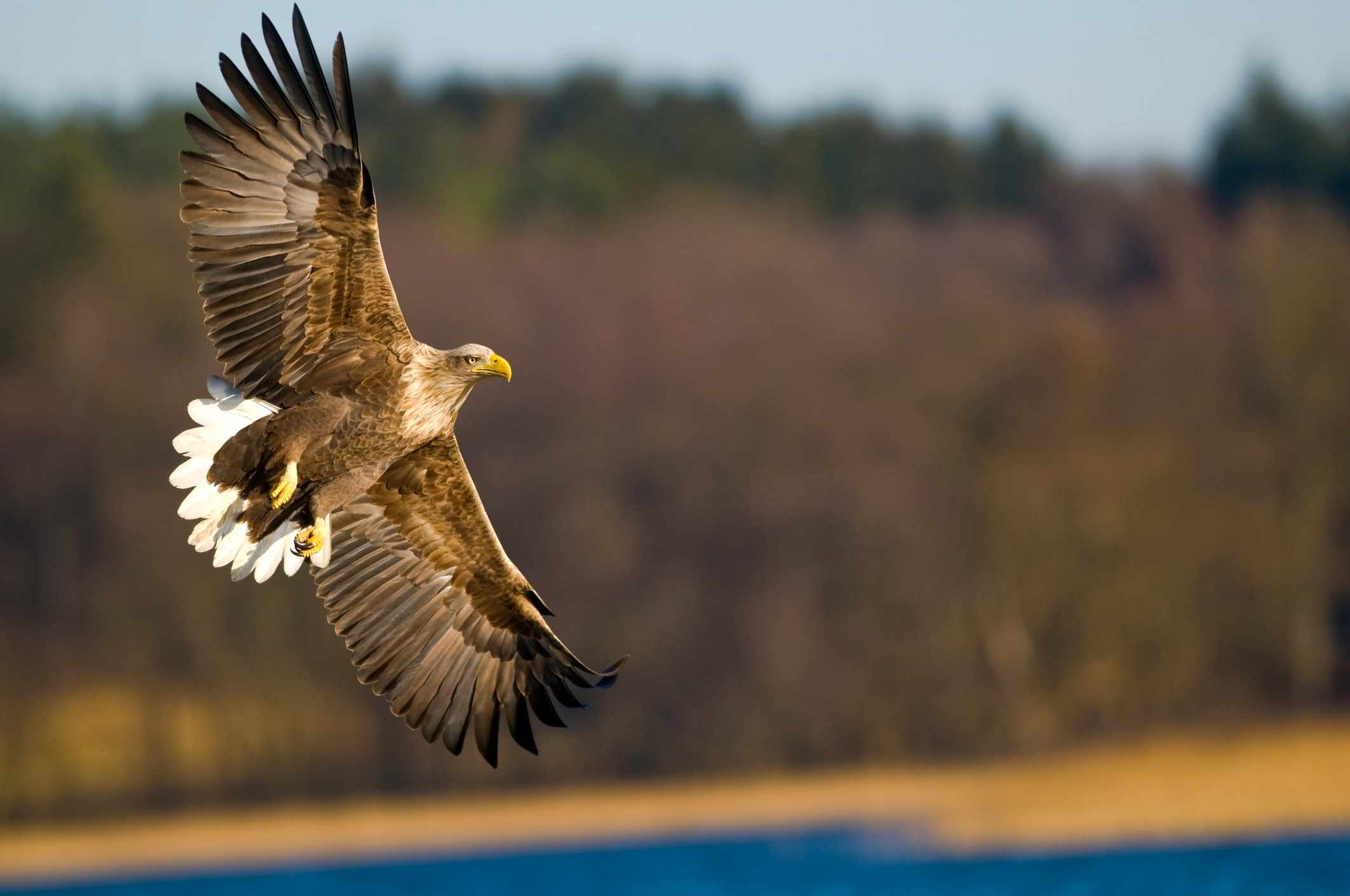 White-tailed eagle flying over lake in Germany. © Berndt Fischer/Getty
