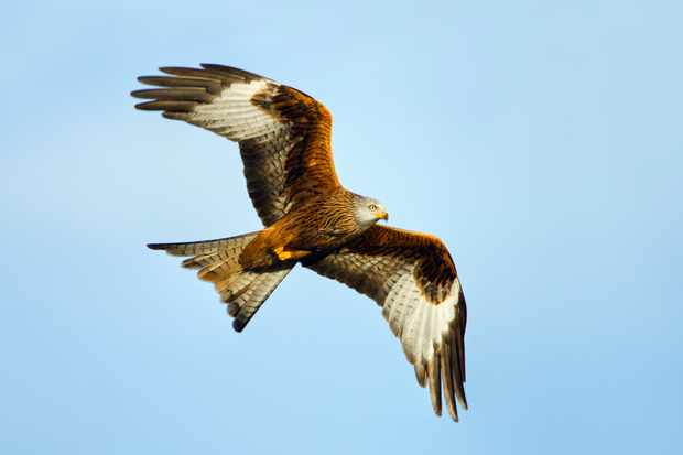 Red kite. © Guy Edwardes/Getty