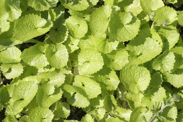 Young leaves of the garlic mustard plant © Whiteway/Getty.