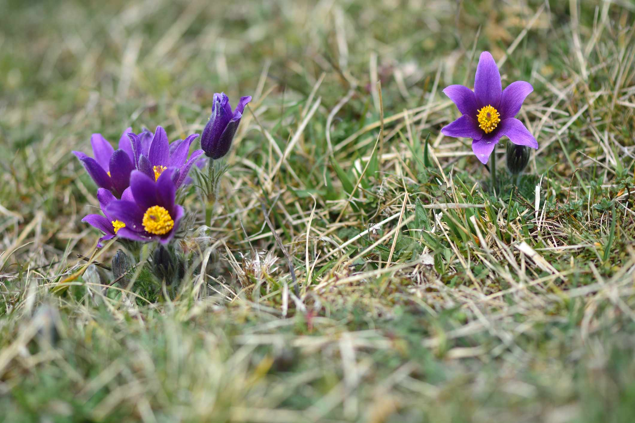 Pasqueflowers. © Ian Redding/Getty