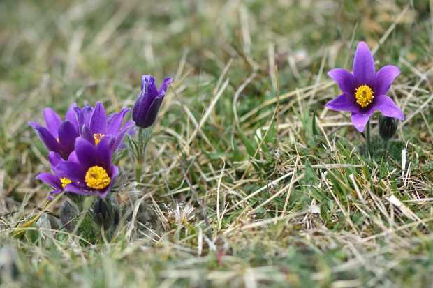 Pasqueflowers. © Ian Redding/Getty