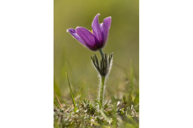 Pasqueflower in the Cotswolds. © Bob Gibbons/FLPA/Getty