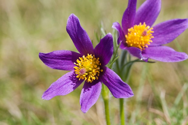Pasqueflower at Barnsley Warren. © Stephen Dorey/Getty
