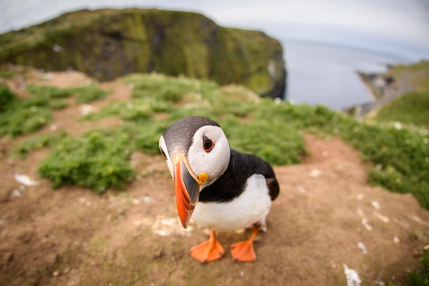 Puffin © Nuzulu/Getty