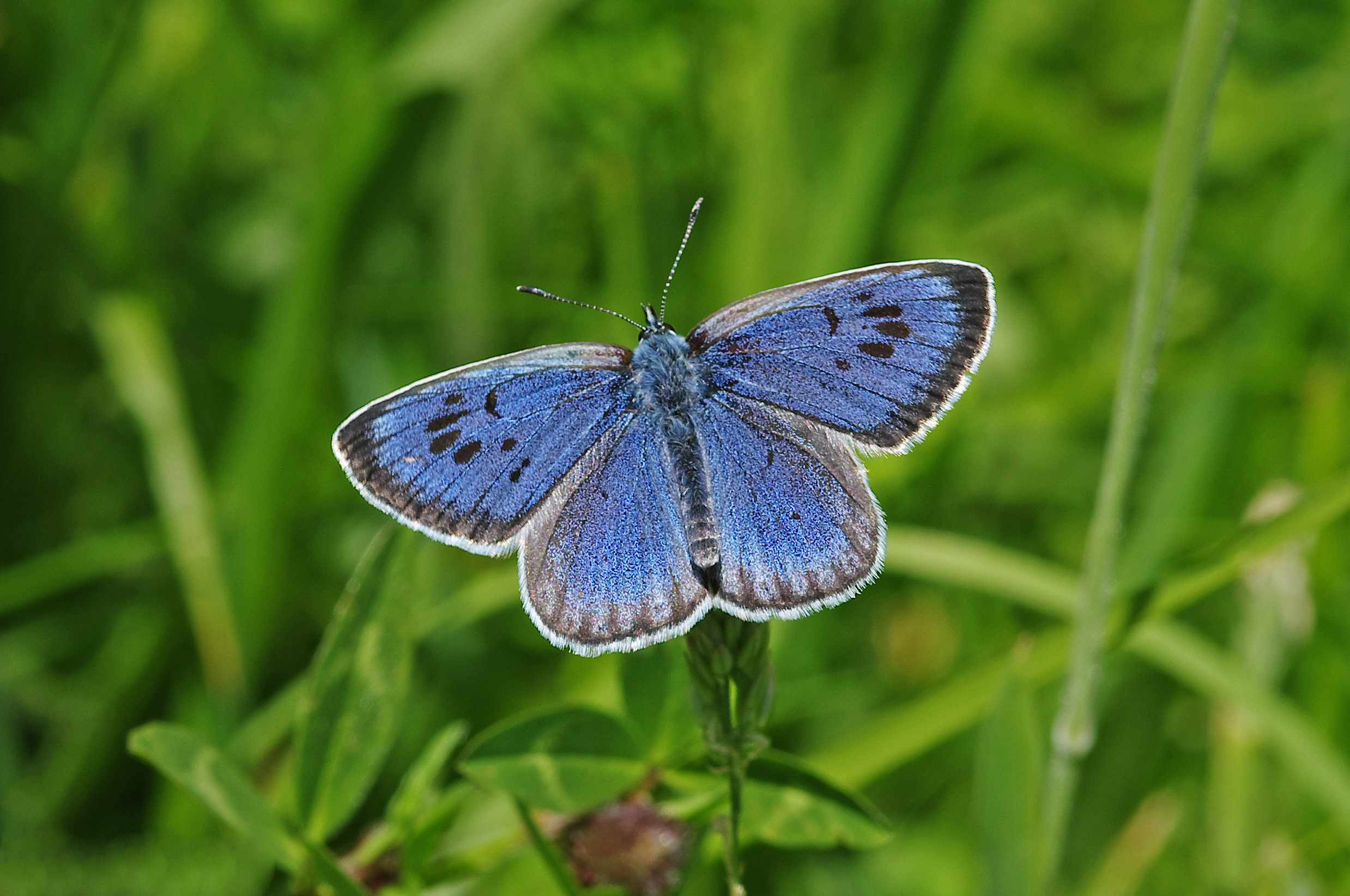 Large blue butterfly. © Gary Chalker/Getty