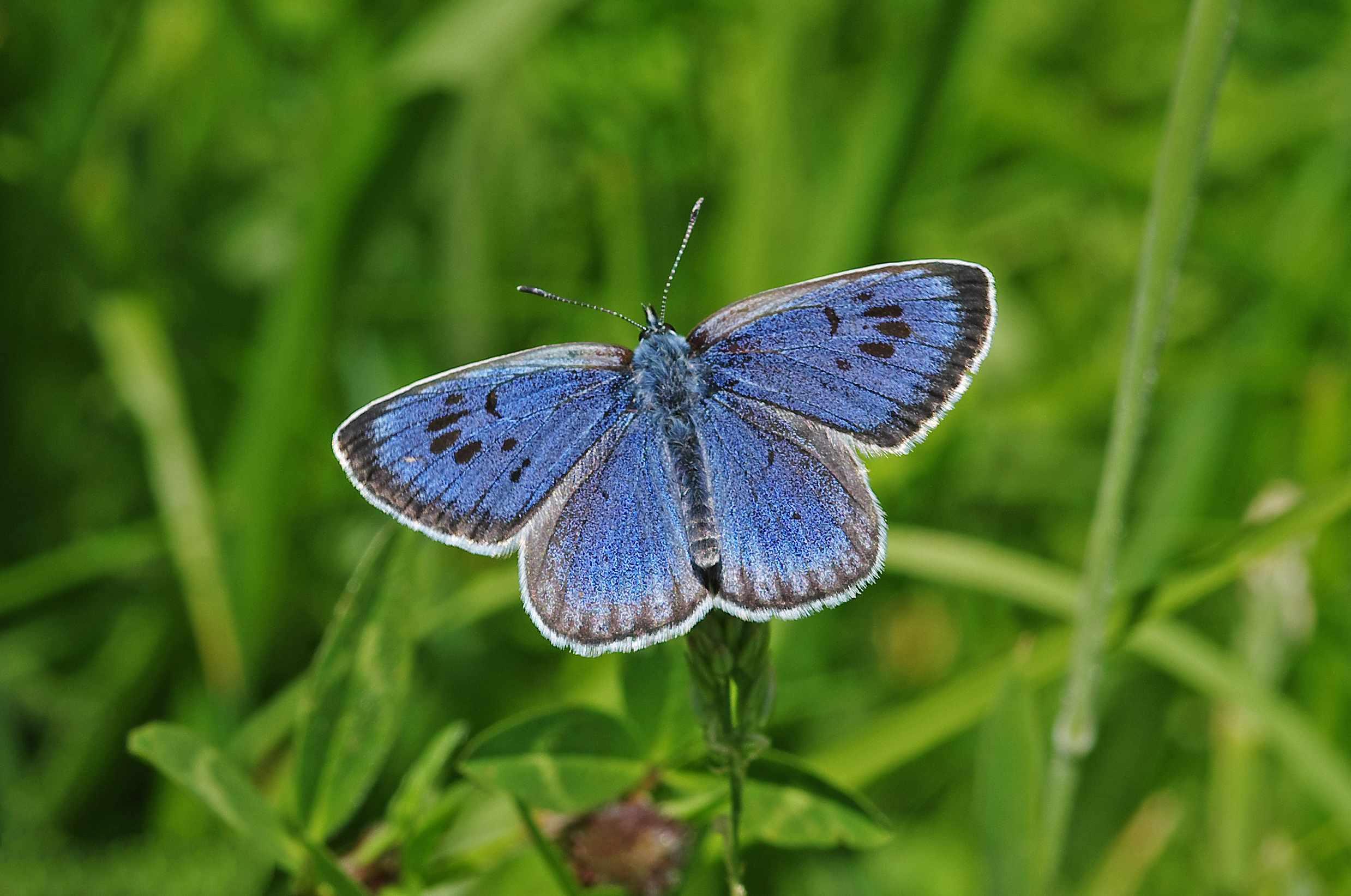 Large blue butterfly. © Gary Chalker/Getty