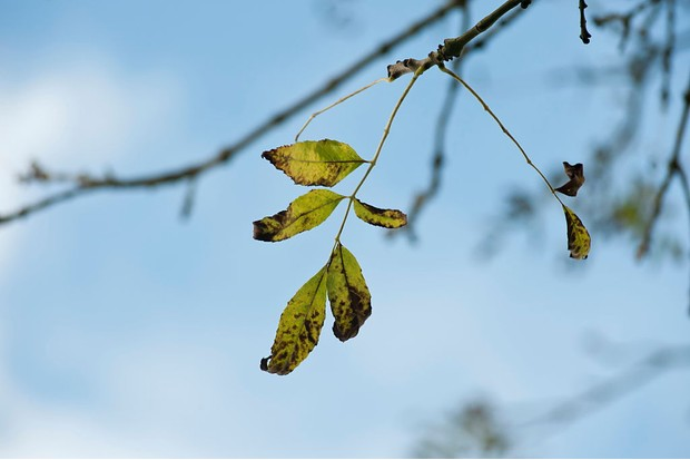 Infected leaves of an ash tree. © Flowerphotos/Getty