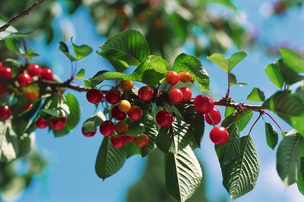 Wild cherry tree © DEA/A.LAURENTI/Getty.