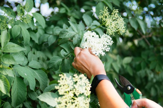 Elderflower foraging © Michael Moeller/EyeEm/Getty.