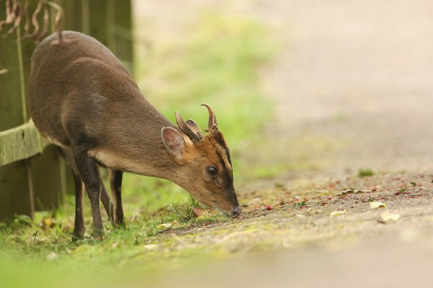 Muntjac deer. © Sandra Standbridge/Getty