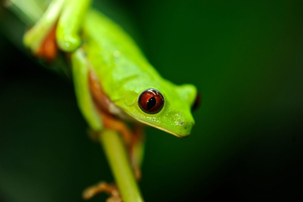 Red-eyed tree frog. © Kike Calvo/UIG/Getty