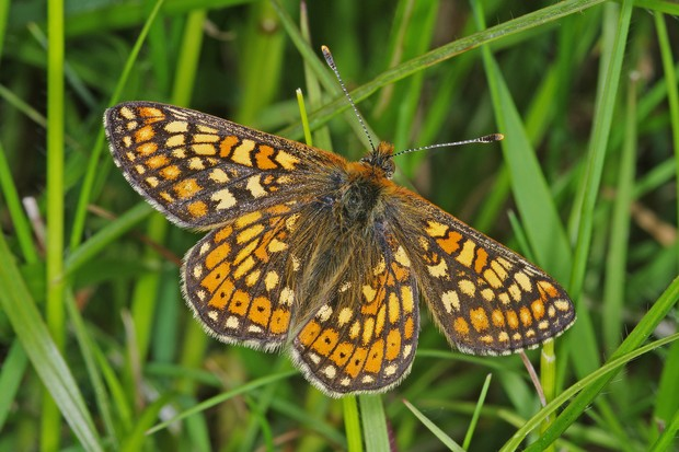 Marsh fritillary butterfly. © Gary Chalker/Getty