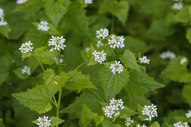 Garlic mustard plant, also known as jack-by-the-hedge © Michael Meijer/Getty.