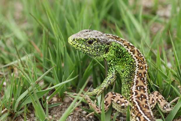 Male sand lizard. © Sandra Standbridge/Getty