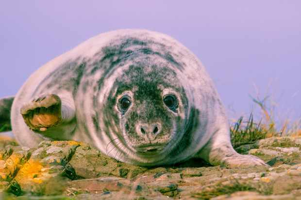 Mammal Society Member Photograph Winner: Grey seal pup waving. © Graeme Hull.