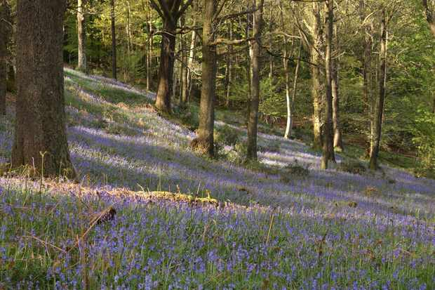 Oak wood and bluebells in Grizedale. © Forestry England