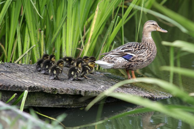 Duck and ducklings on campus. © Suzy Harrison/University of York.