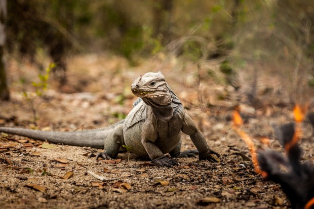 The Hispaniolan rhinoceros iguana is listed as Vulnerable on the IUCN Red List. © Tommy Hall
