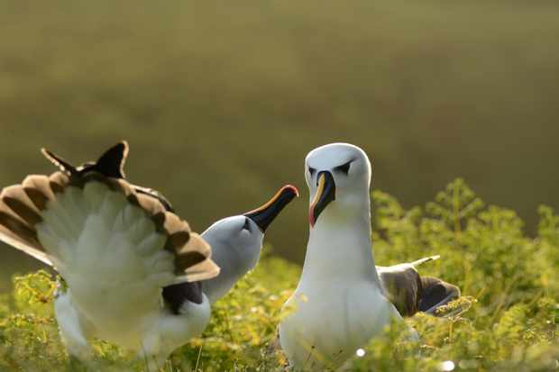 Atlantic yellow-nosed albatrosses on Gough Island. © Ben Dilley