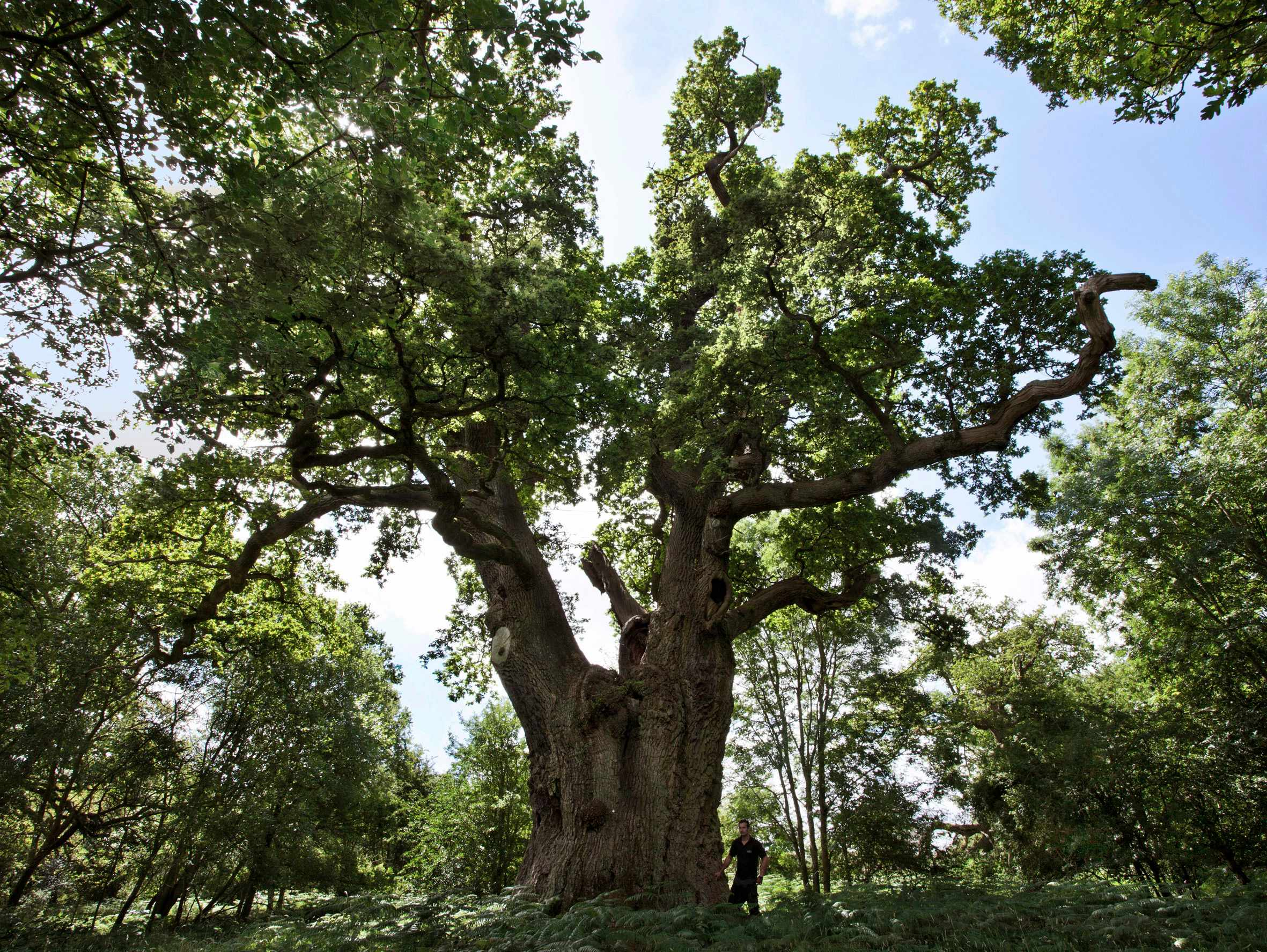 King Oak. © Blenheim Palace