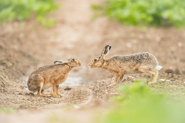 Mammals of the UK Category Highly Commended: Kiss me quick. © Sarah Darnell.