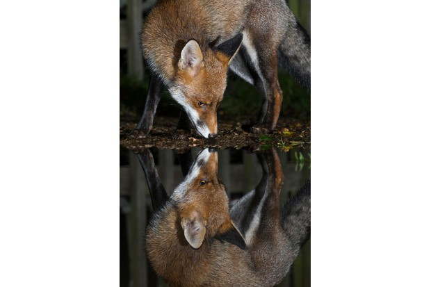Young Mammal Photographer of the Year, aged 16-18 Category Highly Commended: Mirrored fox. © Kyle Moore.