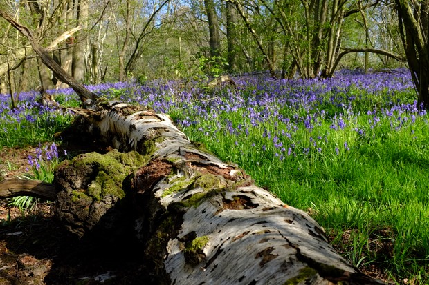 Bluebells at Launde Wood. © Andy Lear