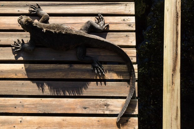 Highly Commended. Sunbathing iguana. © Carlos Cuenca Solana.