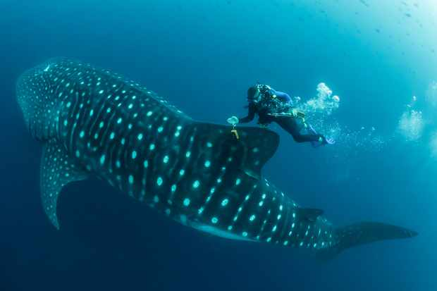 Man in the Archipelago Category 2nd place: Whale shark scientist. © Simon Pierce.