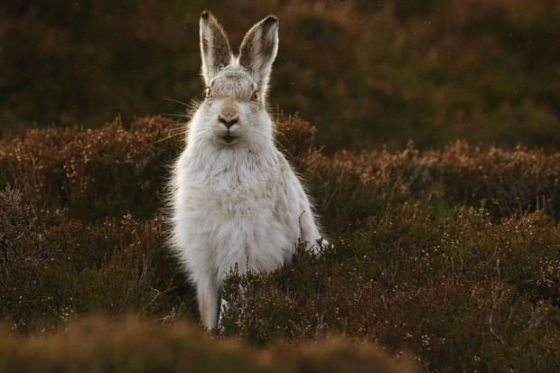 Mammals of the UK Category Highly Commended: Mountain hare. © Shane Stanbridge.