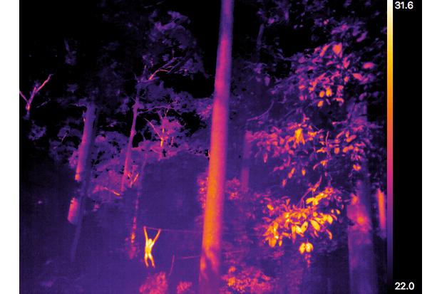 Orangutans in Sabah, Malaysia. © Liverpool John Moores University and W