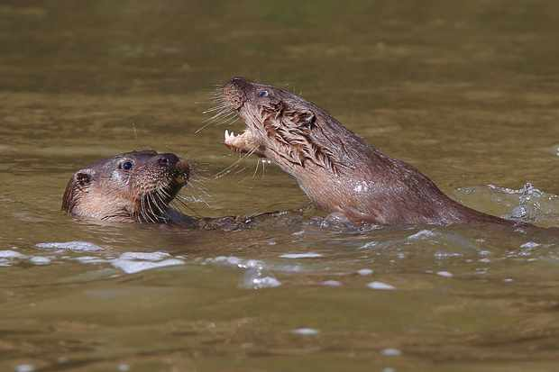 Otters. © Paul Dibben.