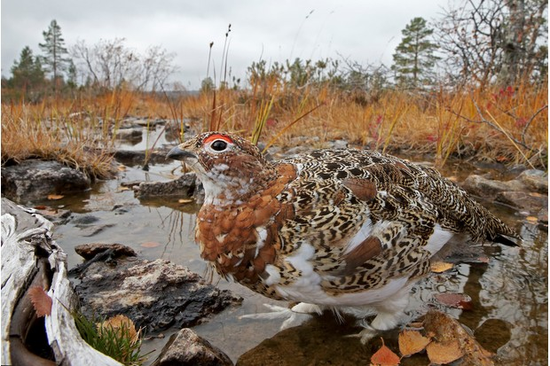 Part of Best Portfolio Category Winner: Willow grouse in autumn. © Markus Varesvuo.