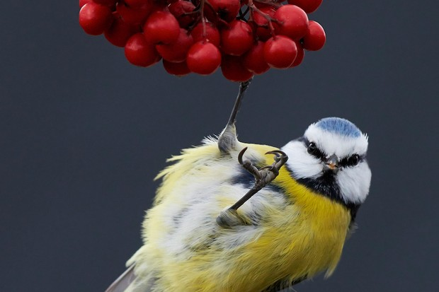 Part of Best Portfolio Category Winner: Portrait of blue tit. © Markus Varesvuo.