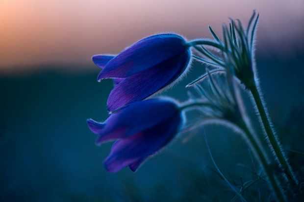 Pasqueflower at Therfield Heath. © Ben Andrew