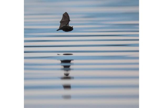 Pipestrelle bat. © Ben Porter.