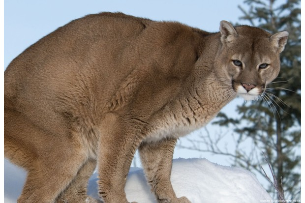 Puma crouching in the snow. © Mark Elbroch/Panthera.