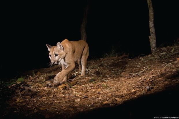Stalking puma. © Sebastian Kennerknecht/Panthera.