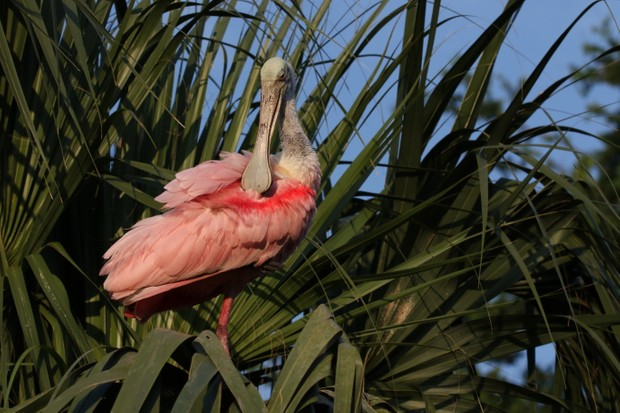 The Everglades support hundreds of marshland species and migratory birds, including roseate spoonbills.