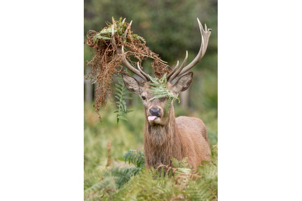 Mammal Comedian Category Winner: Red deer. © Matthew Gould.