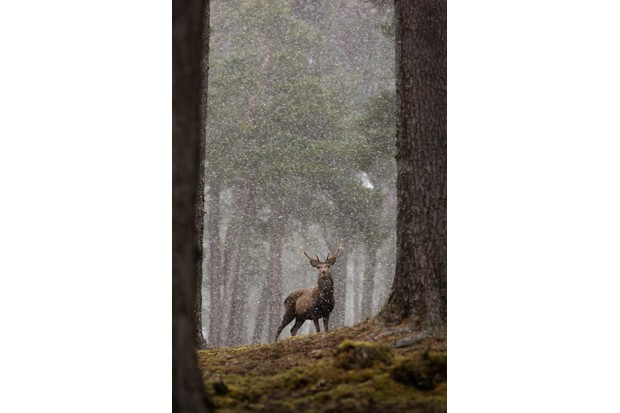 Mammals of the UK Category Highly Commended: Red deer in snowy Caledonian forest. © Daphne Wong.