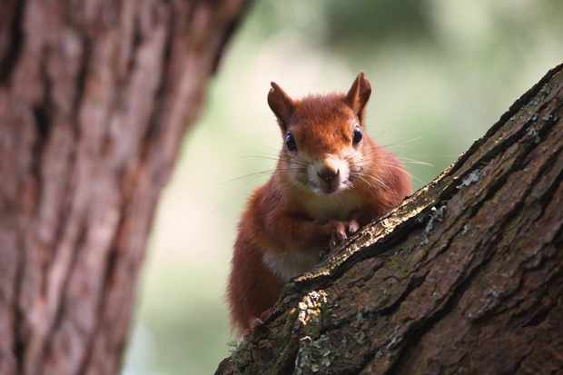 Young Mammal Photographer of the Year, aged 16-18 Category Highly Commended: Red squirrel. © Joe Woods.