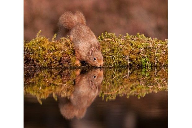 Red squirrel. © Richard Watson.