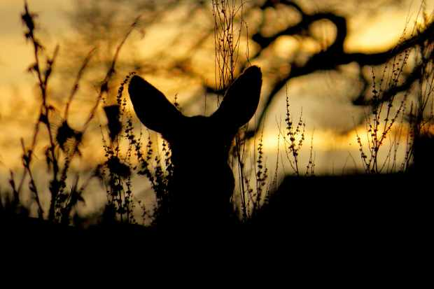 Young Mammal Photographer of the Year, aged 15 and under Category Highly Commended: Roe deer in the evening sun. © Alex White.